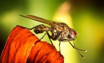 Fliege by photoart-hartmann