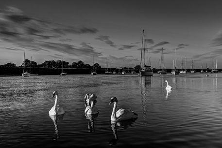 Swans-bw
