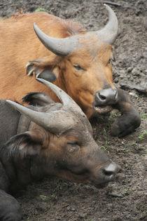 buffalo#5 von Katia Terpigoreva