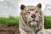Tiger von leddermann