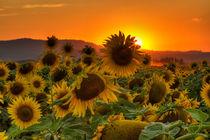 Sunflower Sun Rays von Mark Kiver