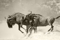 Two wildebeests battling unto death. by Yolande  van Niekerk