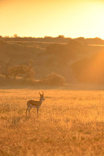 Lone Springbuck standing in golden early morning light. von Yolande  van Niekerk