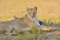 Lioness resting on sandy ground in Kalahari desert. von Yolande  van Niekerk