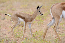 Close-up photo of wet baby Springbuck standing behind its mother. by Yolande  van Niekerk