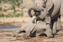 Young African Elephant at play von Yolande  van Niekerk