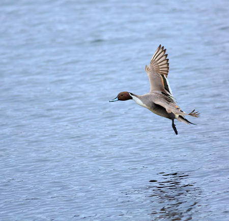 Northern-pintail0472