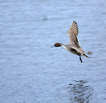 Northern Pintail Duck in Flight von Louise Heusinkveld
