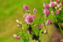 Masterwort, Astrantia major von Louise Heusinkveld