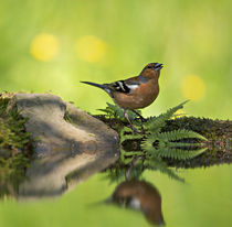 Common Chaffinch, Fringilla coelebs, male by Louise Heusinkveld
