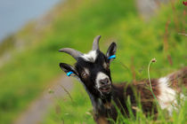 Lynton Goat, Valley of the Rocks, Exmoor. von Louise Heusinkveld