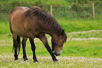 Exmoor pony grazing in Valley of the Rocks by Louise Heusinkveld