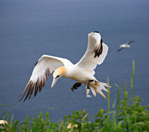 Gannet in Flight by Louise Heusinkveld