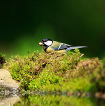 Great-tit0585