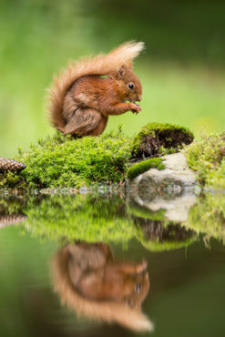 Red-squirrel0646