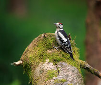 Great Spotted Woodpecker by Louise Heusinkveld
