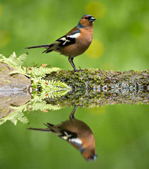 Common Chaffinch by Louise Heusinkveld