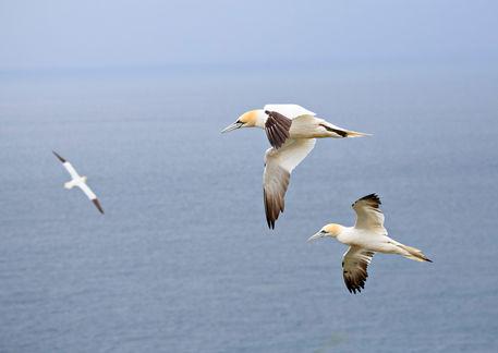 Gannets-in-flight0623