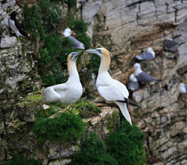Gannets Nesting on the Side of a Cliff von Louise Heusinkveld