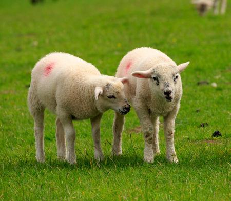 Lamb0604