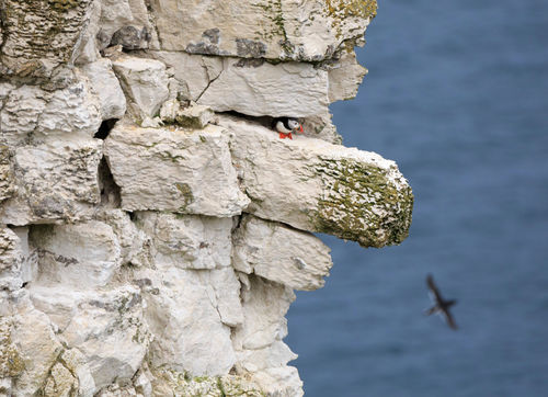 Puffin-on-ledge0631