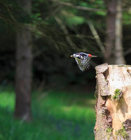Woodpecker0593