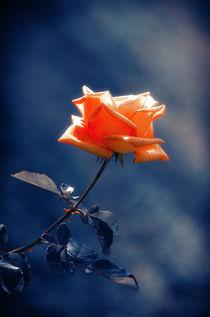 Rose Flower with Indigo back von cinema4design