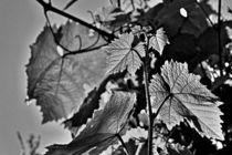 Weinblätter im Sonnenlicht von leddermann