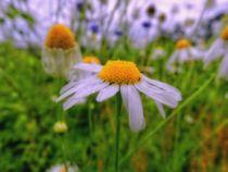 flowered meadow von urs-foto-art