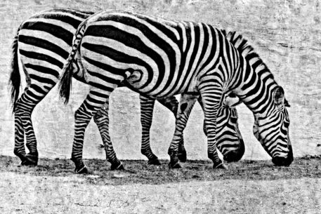 2-st-zebras-cut-60002c