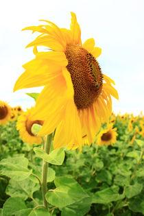 Sonnenblume-007