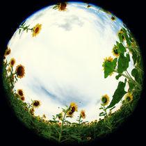 Sonnenblume-011