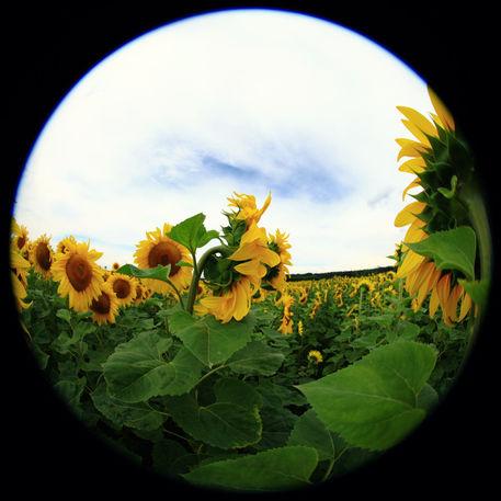 Sonnenblume-015