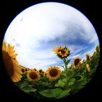 Sonnenblumen von Falko Follert
