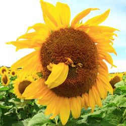 Sonnenblume-027