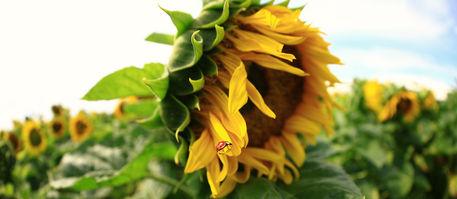 Sonnenblume-039