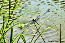 Dragonfly on Grass von Dan Richards