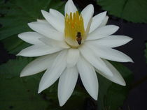 Bee on water lilly by Julius Musyoki