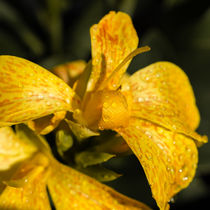 Canna indica 85 by Erhard Hess