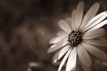 Cape-daisy