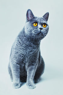 British gray cat with yellow eyes von Igor Korionov