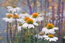 Echinacea alba  von Ursula Pechloff
