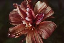 Fading flower dahlia by Igor Korionov