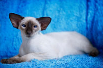 Siam Kitten / 4 by Heidi Bollich