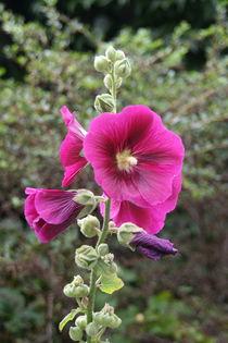 Pink garden flower von atari-frosch