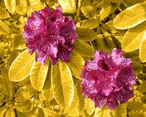 Rot auf Gelb by lorenzo-fp
