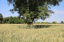Baum im Feld von Ralf Wolter