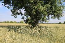 Ein Baum im Feld von Ralf Wolter