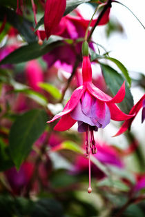 Flowering Fuchsia by Vicki Field