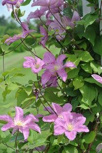 Rosa Blumen von Ralf Wolter